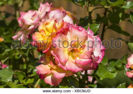 Rosa Bonanza, Shrub rose - Stock Photo