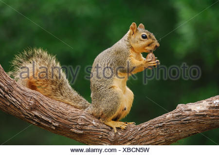 Portrait of Eastern Fox Squirrel (Sciurus niger) male feeding on pecan nut, Fennessey Ranch, Refugio, Coastal Bend, Texas Coast, USA. - Stock Photo