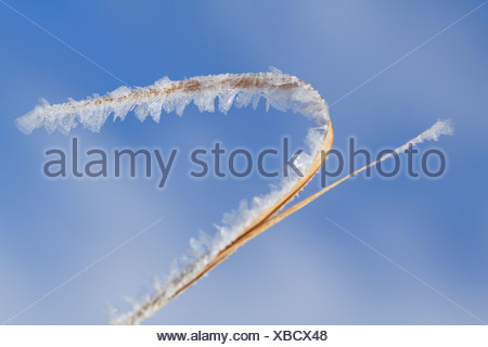 Hoarfrost on blade of grass against a blue sky