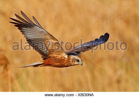 western marsh harrier (Circus aeruginosus), flying, Germany, Rhineland-Palatinate - Stock Photo