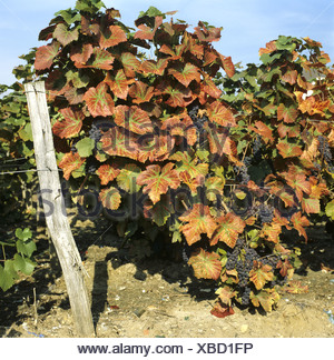 Magnesium deficiency symptoms on Pinot Noir grapevine in fruit - Stock Photo