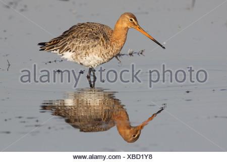 grutto;   black-tailed godwit;   limosa limosa; - Stock Photo