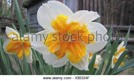 Close-Up Of Fresh White Daffodils With Yellow Petals In Garden - Stock Photo