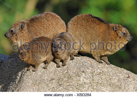 common rock hyrax, rock dassie (Procavia capensis), two adult with two pups - Stock Photo