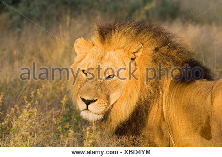 Full-grown lion (Panthera leo), male, Namibia, Africa - Stock Photo
