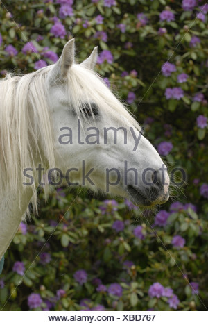 Irish Tinker Portrait - Stock Photo