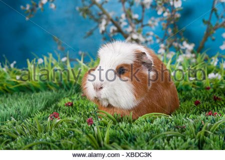 American Crested Guinea Pig - Stock Photo