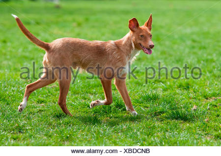 Andalusian Hound. Adult male walking on a lawn. Germany - Stock Photo