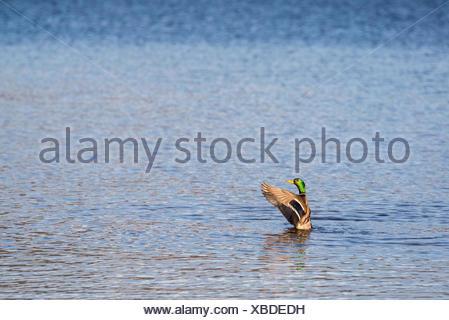 Mallard duck, Anas platyrhynchos, flapping it's wings on Okangan Lake in Penticton, British Columbia, Canada - Stock Photo