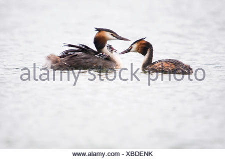 Two young Great Crested Grebes are fed with a little fish - Stock Photo