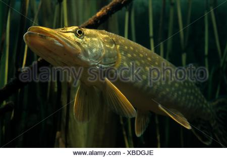 Northern Pike in close-up - Stock Photo