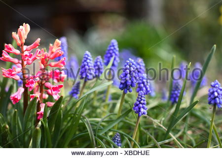 Grape hyacinth - Muscari - Stock Photo