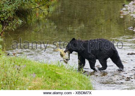 Adult Black bear (Ursus americanus) with Chum salmon it has just caught, Fish Creek, Tongass National Forest, Alaska, USA - Stock Photo