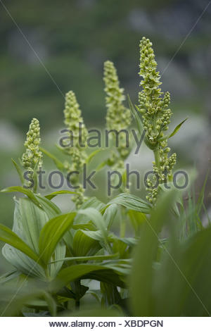 white hellebore, veratrum album ssp. lobelianum - Stock Photo