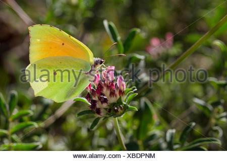 Cleopatra butterfly (Gonepteryx cleopatra), male at Anthyllis - Stock Photo