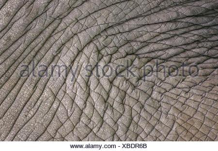 AFRICAN ELEPHANT loxodonta africana, CLOSE-UP OF SKIN, KENYA - Stock Photo