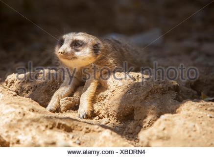 Meerkat lying on the sand with the head on sun and the body on shadow. - Stock Photo