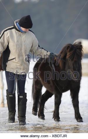 Lewitzer Pony being led ice slipping despite wearing horse shoes cleats Germany - Stock Photo