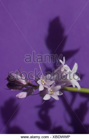 Common bluebells (Hyacinthoides non-scripta) with strong shadows against purple background. - Stock Photo