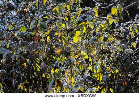 Viburnum lantana, Wayfaring tree, white frost - Stock Photo
