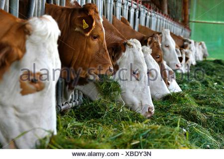 domestic cattle (Bos primigenius f. taurus), Cows feeding on grass, Austria - Stock Photo