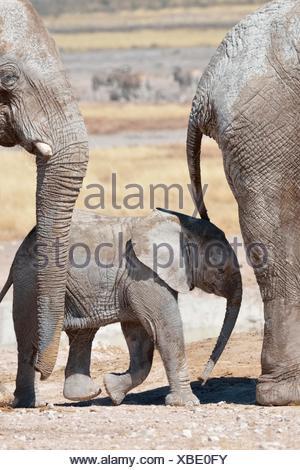 African Elephants (Loxodonta africana), a baby surrounded by two adults, at Newbroni waterhole, Etosha National Park, Namibia - Stock Photo