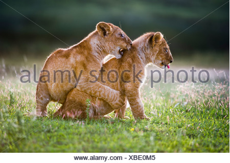 African Lion cubs around 4 month old cub playing together, Big Marsh, Serengeti, Tanzania - Stock Photo