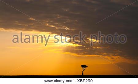 single tree in savanna at sunrise, Kenya, Masai Mara National Park - Stock Photo