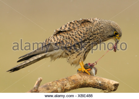 Female Kestrel perched on a dead branch feeding on a mouse with small snowflakes falling down - Stock Photo