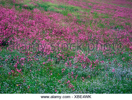 Red Campion (Silene dioica) and Wood Forget-Me-Nots (Myosotis sylvatica) in Aschau, Tyrol, Austria, Europe - Stock Photo