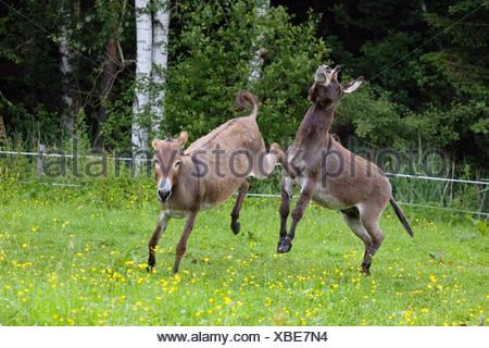 Donkey kicking against male, Equus asinus, Bavaria, Germany - Stock Photo