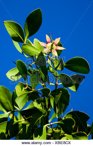 The flowering blossom of an Apple Mangrove. - Stock Photo
