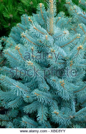Colorado blue spruce (Picea pungens 'Hoopsii', Picea pungens Hoopsii), cultivar Hoopsii, Mannheim - Stock Photo