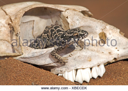 cute photo of a spotted thick-toad gecko that uses a skull to hide in - Stock Photo