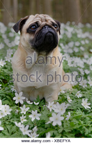 Pug sitting in meadow with wood anemones, Schleswig-Holstein, Germany - Stock Photo
