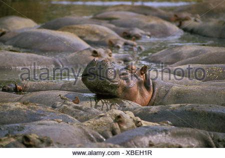 Hippopotamus, hippopotamus amphibius, Large Group at Virunga Park in Congo - Stock Photo