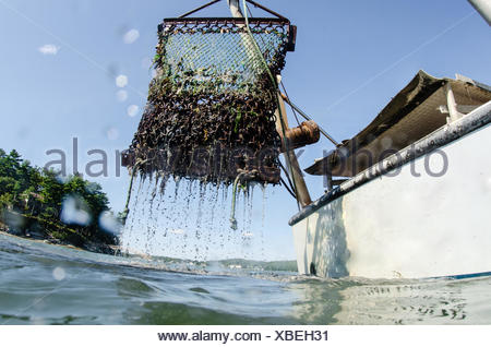 A chain link basket is brought up from the river bed full of oysters and dripping with muddy water. - Stock Photo