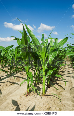 Mid growth grain corn plants at the pre tassel stage, twin row planted, with two rows 7' apart on beds set up on 38' centers. - Stock Photo