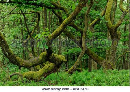 oak (Quercus spec.), coppice with mossy oaks, Germany, North Rhine-Westphalia, Sauerland, Sundern - Stock Photo