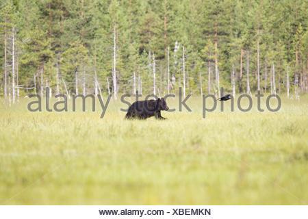 Eurasian brown bear - Stock Photo