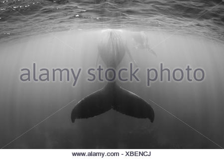 Humpback Whale, Mother and Calf, Megaptera novaeangliae, Silver Bank, Atlantic Ocean, Dominican Republic - Stock Photo