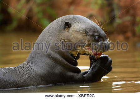 Giant River Otter eating fish, Pantanal, Brazil, South America (Pteronura brasiliensis) - Stock Photo
