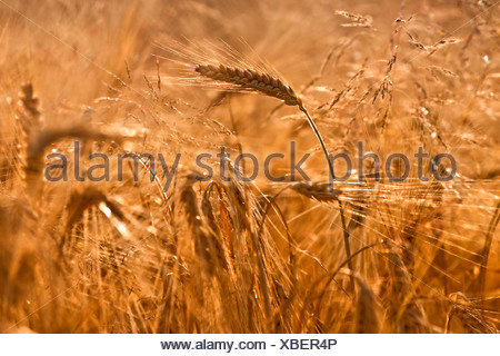 Wheat field ready for harvest - Stock Photo