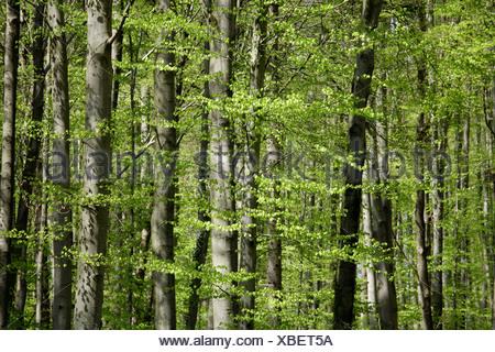 Red beech trees (Fagus sylvatica) - Stock Photo