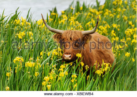 Scottish Highland Cattle, Kyloe (Bos primigenius f. taurus), in a population of yellow iris (Iris pseudacorus), Germany - Stock Photo