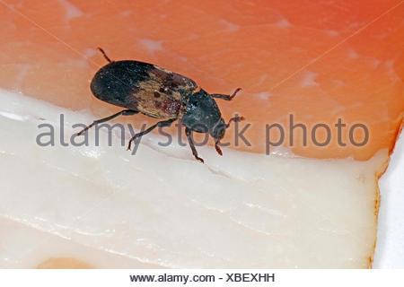 larder beetle, common larder beetle, bacon beetle (Dermestes lardarius), stored product pest on ham, Germany - Stock Photo