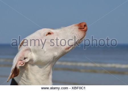 Ibizan Warren Hound, Ibizan Podenco (Canis lupus f. familiaris), portrait, side view - Stock Photo