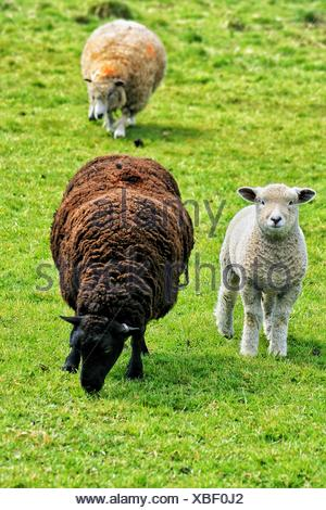 Sheep And Lamb On Grassy Field - Stock Photo