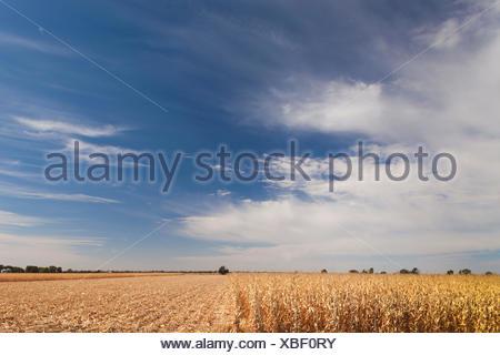 USA, Nebraska, North Platte, wheat field - Stock Photo