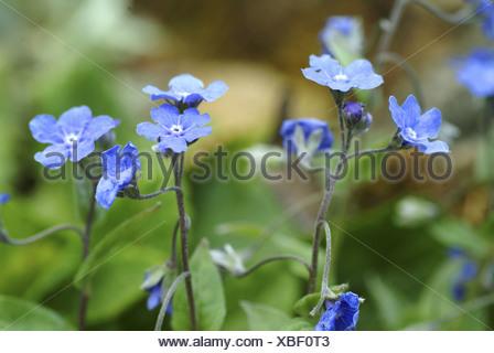 creeping navelwort, omphalodes verna - Stock Photo